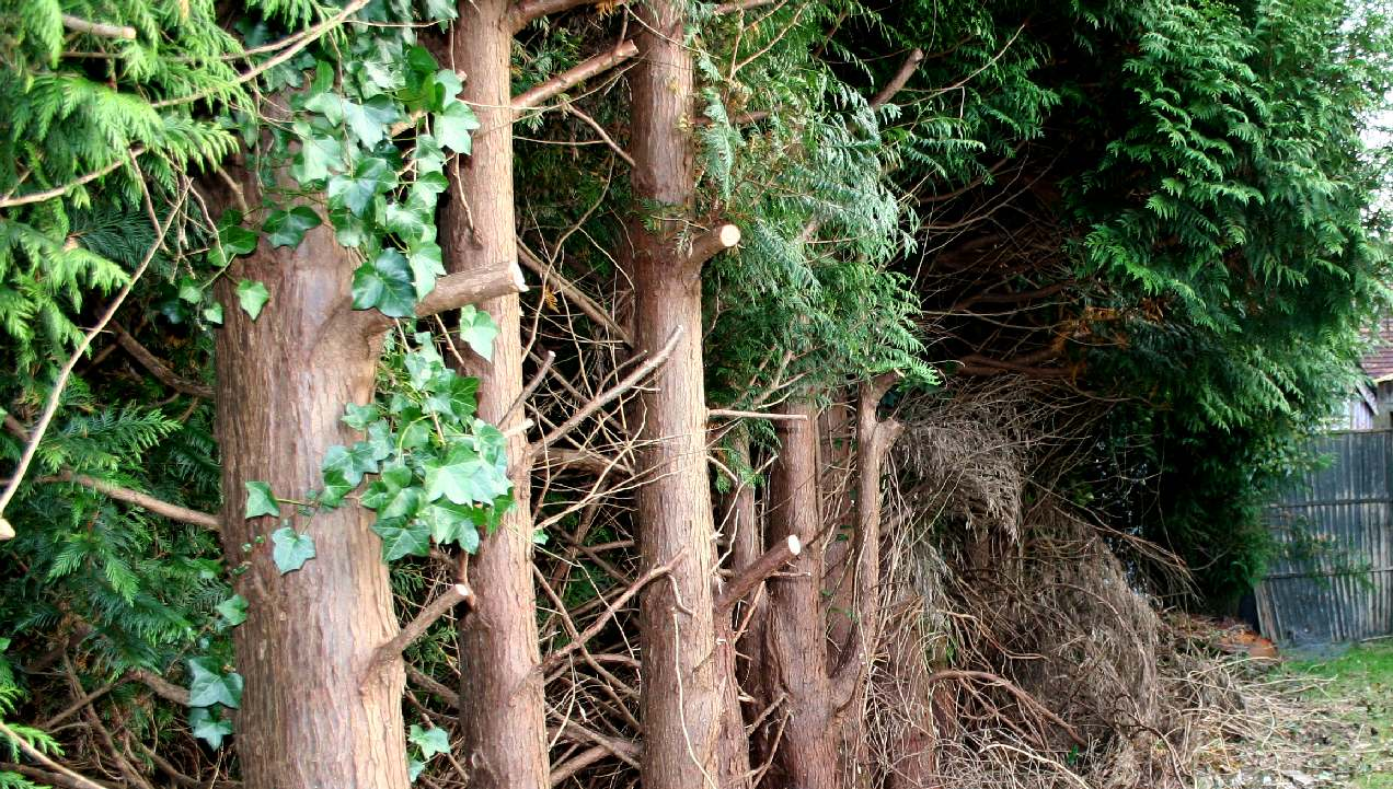 Peter and June Townley allowed this to happen to their evergreens to cause loss of light to a neighbour